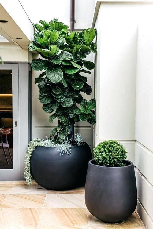 Large Contemporary Plant Pots Modern Indoor Uk Pot Belly Planter With A Fiddle Leaf Fig Ficus Lyrata And Anese Box