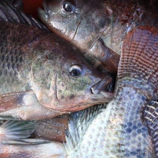 Here in Brazil tilapia farming is a fast growing business. With the year-round warm weather, tilapia can grow in ponds, lakes, rivers, and tanks. Find out how we have built our business here in Brazil