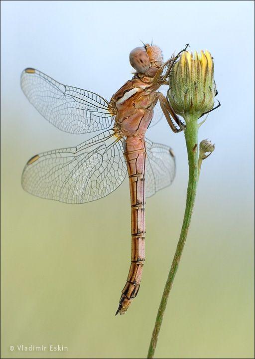 dragonfly on a dandelion bud