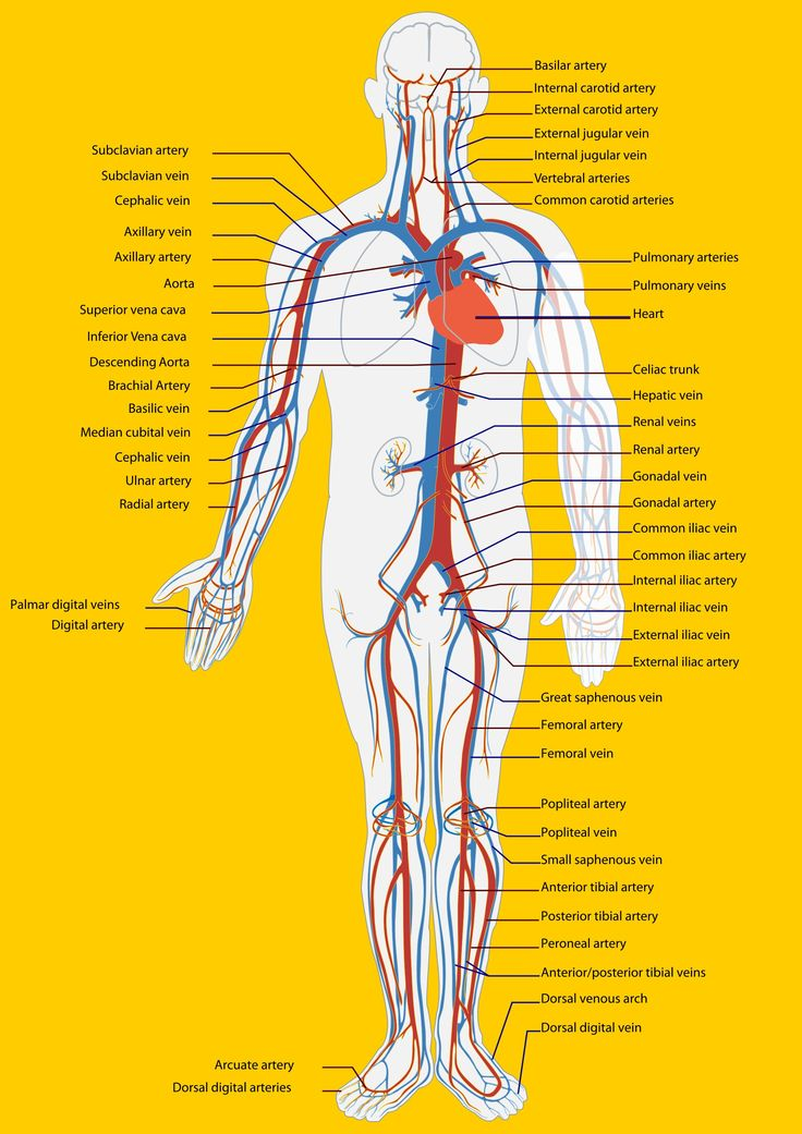 Circulatory System Pics | Circulatory system function ...