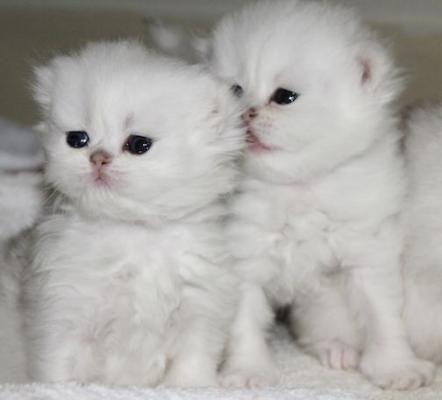 Persian Cat Breeder Los Angeles