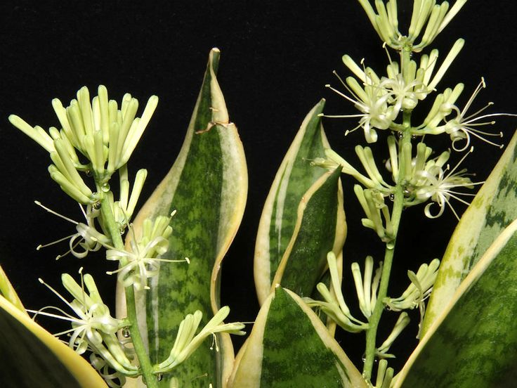 Sansevieria trifasciata 'Golden Hahnii' (Golden Bird's Nest Sansevieria) is a dwarf cultivar of the familiar houseplant Sansevieria...