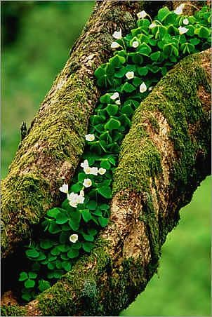 Wood Sorrel (Oxalis acetosella) growing on Oak tree in Argyll, Scotland by Laurie Campbell