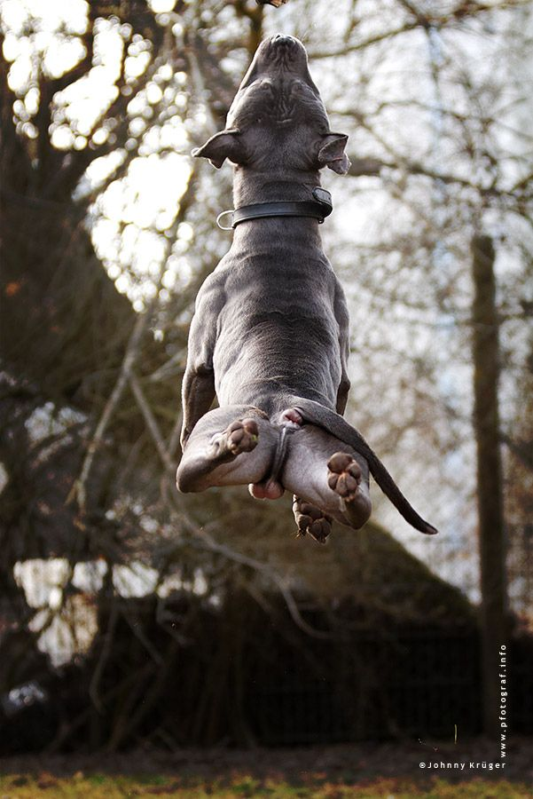 American staffordshire bull terrier...Mogli...caught in powerful jump!.....Photo by Johnny Krüger