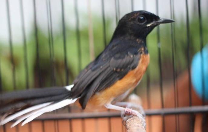 Harga Murai Medan Memang Cukup Beraneka Ragam Mulai Dari Jutaan Hinga Belasan Juta Beda Beberapa Bulan Saja Harga Murai Trotol Lanj Gambar Burung Burung Murai
