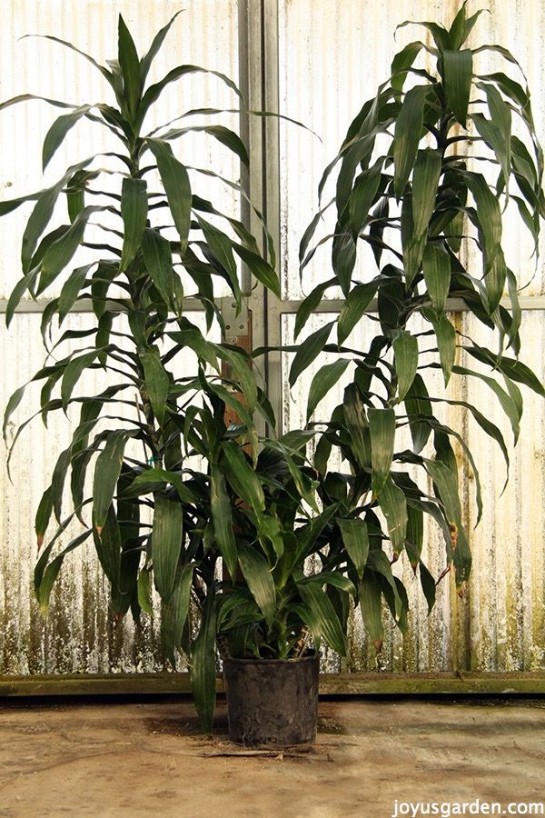 The dracaena janet craig is the quintessential low light for Low maintenance indoor plants low light
