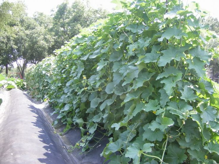 trellised cantalope... wish I had done this this year.