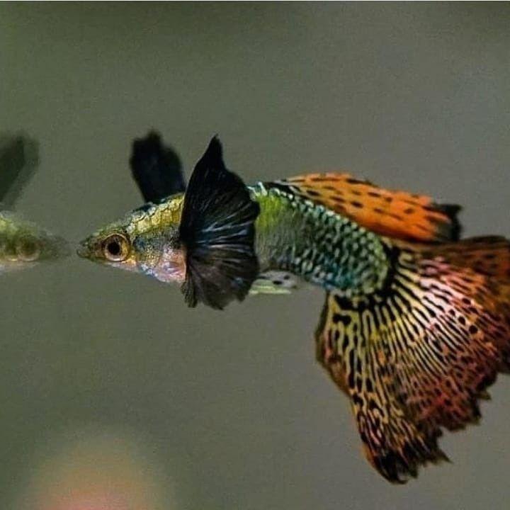 Big Ear Dragon Red Mozaic Guppy Fish Guppy Fish Fish Guppy