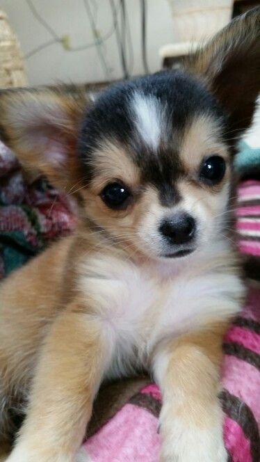 Adorable Chihuahua puppy.    Chihuahua lovers...Follow us on Facebook... https://www.facebook.com/LoveMyChihuahuaCutie