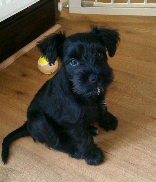 Black miniature schnauzer pup