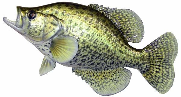 17 best images about crappie fishing on pinterest for What is a crappie fish