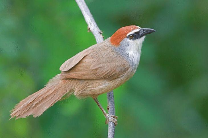 4 Jenis Burung Kicauan Non Lomba Dan Karakteristiknya Binatang Hewan Burung