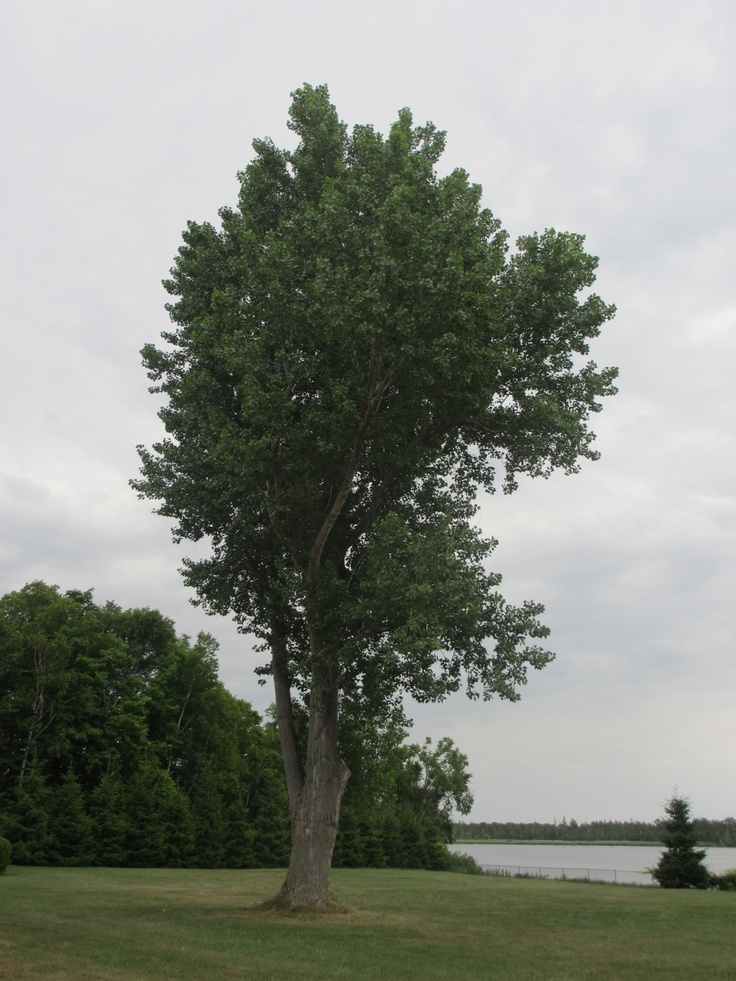 A gorgeous old tree on Carson's Lake