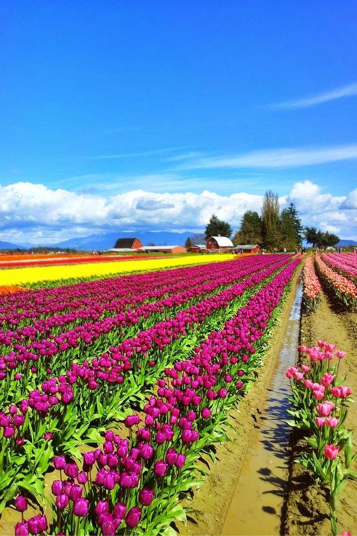 Tulip fields at the Skagit Valley Tulip Festival in Washington