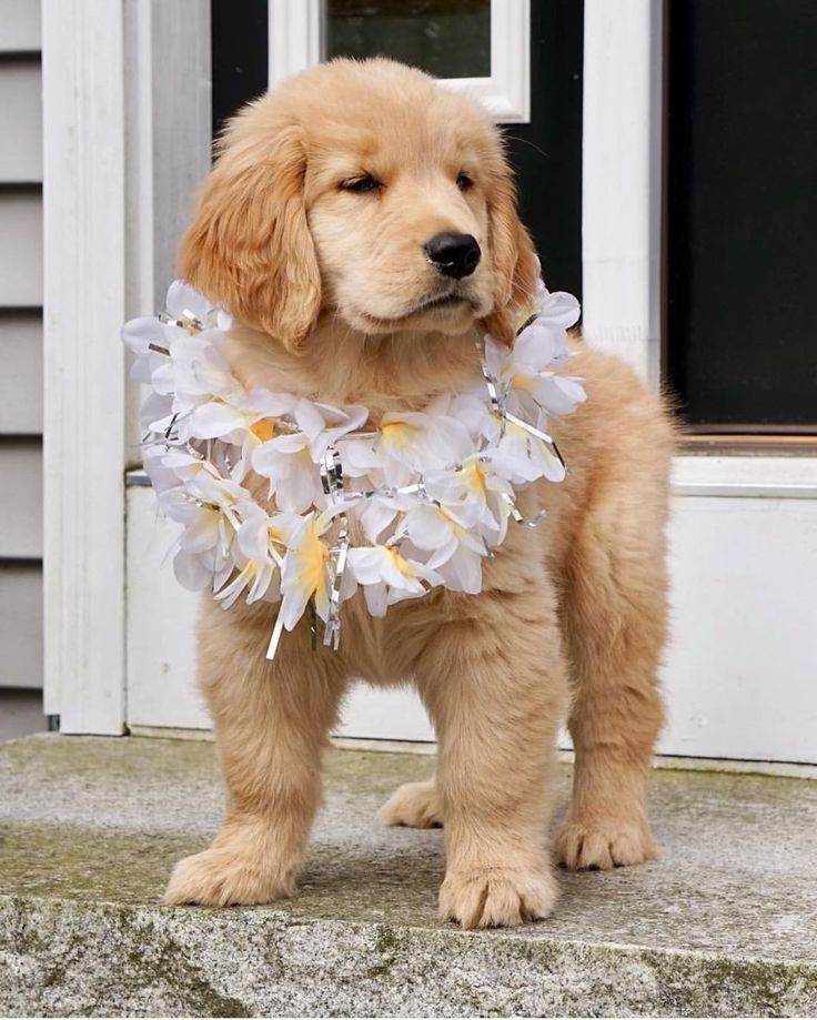 Golden Retriever Puppy Note No Copyright Infringement Is