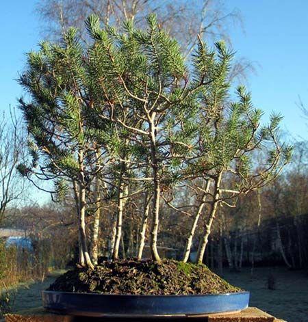 Les 25 meilleures id es concernant entretien bonsai sur for Entretien jardin 86