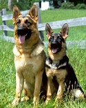 No. 2 German Shepherd Dog Energetic and fun-loving, the breed is very fond of children once a relationship is established.