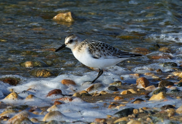 Sanderling photographed at Chambers Bay WA.