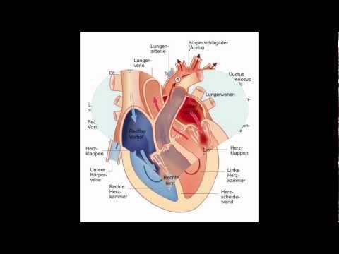 herz anatomisch herz anatomisch Im Zentrum ist ein hohles Element das all die rhythmischen Kontraktionen des Herzmuskels (Myokard) und Blut durch den Körper eines jeden Menschen und viele der Tiere pumpt. herz anatomisch In diesem Fall wird das Blut Sauerstoff gebunden die durch die Kontraktionen des Herzens von der Lunge in allen Bereichen des Körpers geführt wird um so die Sauerstoffversorgung aller Geräte zu gewährleisten.herz anatomisch Wenn diese Strömung und somit nicht richtig…
