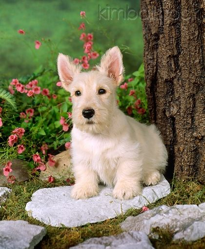 PUP 14 FA0004 01 - Tan Scottish Terrier Puppy Sitting On Stone By Tree - Kimballstock
