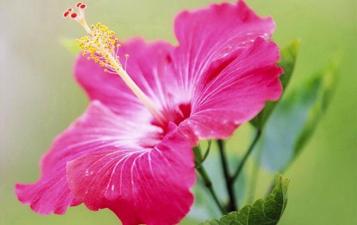 Hình nền hoa dâm bụt, Hinh nen may tinh HD