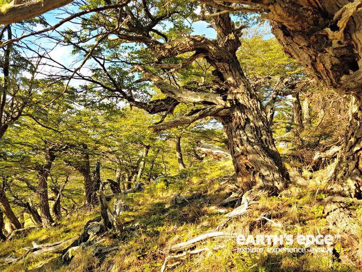 Patagonia Trek - Lenga Trees