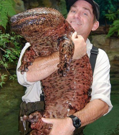 grande salamandre japonaise - Recherche Google
