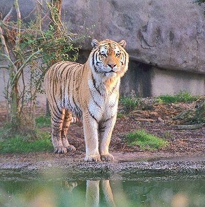 Felinele de genul PANTHERA precum leul, leopardul, jaguarul sau pantera zapezilor formeaza un grup de carnivore mari, impresionante prin infatisarea si forta lor, dar nici una dintre speciile amintite nu se compara ca aspect, putere, agilitate, eleganta si poate ferocitate, cu TIGRUL (Panthera tigris). Acest stapan al padurilor si al junglelor asiatice, contestat doar de…