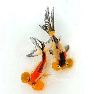 Tri-colour Bubble-eye with dorsal fin