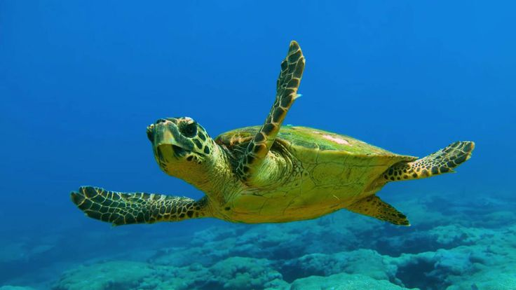La tartaruga Caretta Caretta e Lampedusa