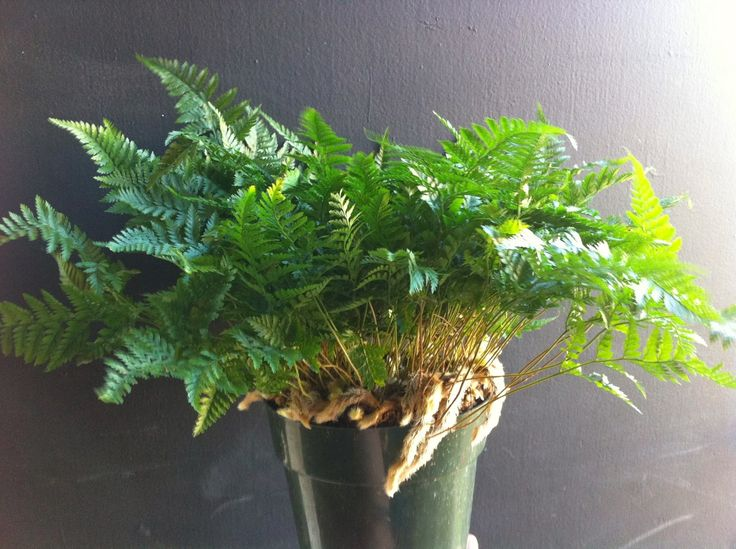33 best Ferns images on Pinterest Ferns Houseplants and How to grow