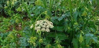 Бедренец - Лекарственные растения