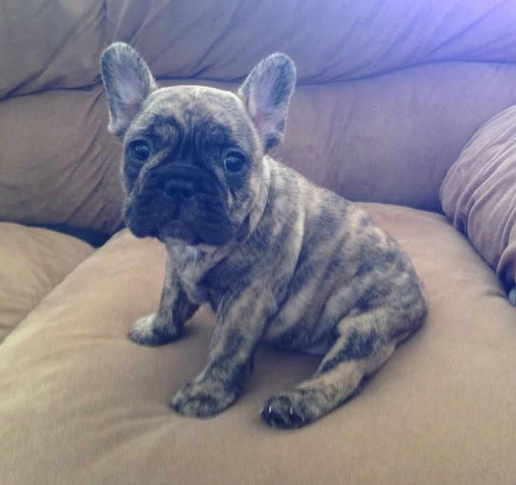 what does a bulldog look like reverse brindle french bulldog looks like a little 5800