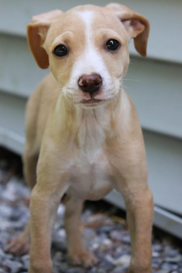 Liana - Chihuahua/Miniature Pinscher mix - Female - Canine Commitment NH - New Boston, NH. - http://caninecommit.org/adoptable-dogs/ - https://www.facebook.com/caninecommitmentnewengland/ - https://www.petfinder.com/petdetail/36312873