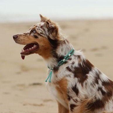 Seid ihr schon bereit für die Zeckenzeit?  ihr möchtet euren Hund nicht der Chemie aussetzen aber trotzdem vor Zecken schützen? Dann gestalte dir gleich jetzt dein personalisiertes Zeckenhalsband von UDog welches die Zecken mit Hilfe von EM Keramik von Zubeißen abhält  je nach Modell liegen die Zeckenhalsbänder zwischen 8-10  www.u-Dog.de  #halsband #handmade #handgemacht #paracord #collar #paracordhalsband #selfmade #hundemarke #hund #australianshepherd #hundeliebe #welpe #dog #dogtag…