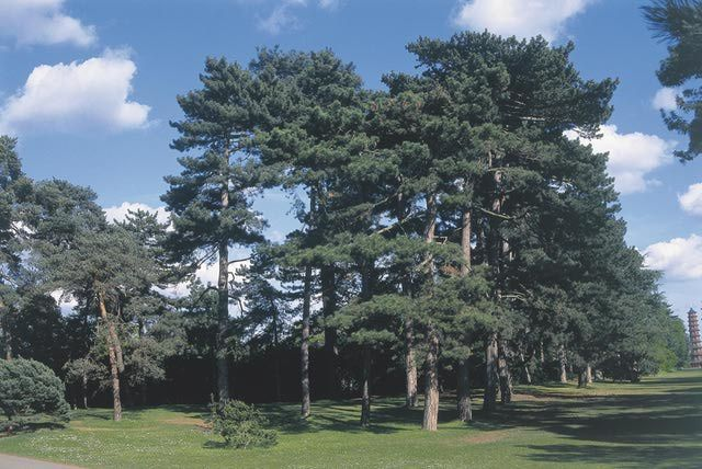 Growing Austrian Pine - Pinus nigra