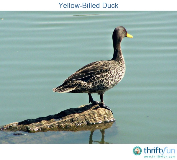 Photo of yellow billed duck, taken at the Austin Roberts Bird Sanctuary.