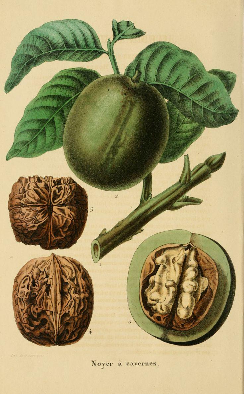 English Walnut - Juglans regia - circa 1853