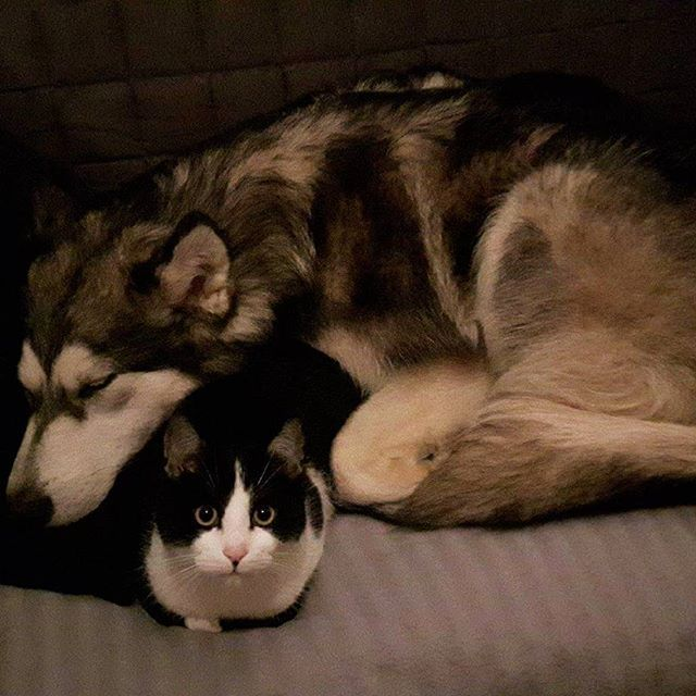 Zzzz...  sleepy  #alaskanmalamute #malamute #alaskanmalamutesofinstagram #husky #dog #instagramdog #pet #puppy #cat #kitten #hond #hund #kat