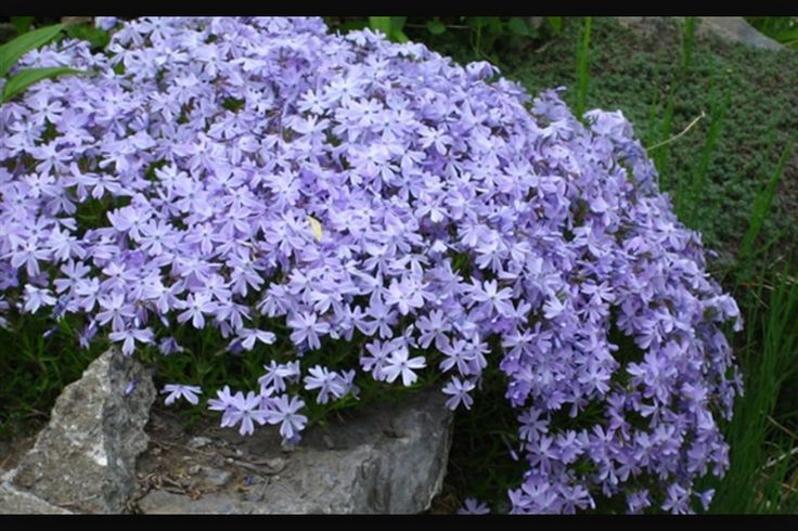 Phlox subulatab Blue Creeping Phlox