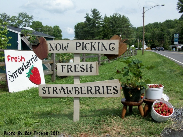 Picking your own strawberriesBristol Va, Pick Strawberries, Bristol Culture, Strawberries Farms, Glenmari Strawberries