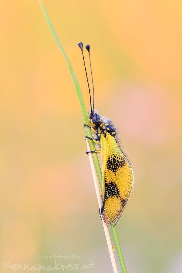 Libelloides macaronius by Anton Simon on 500px