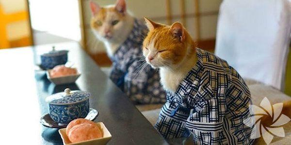 Kediler de kimono modasına uyarsa...