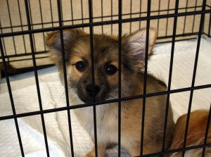 Chocolate is an adoptable Pomeranian Dog in Pickerington, OH. Meet Chocolate! Chocolate is a pomeranian mix puppy born in mid-March. She was surrendered to New Beginnings with her mom, brother and sis...