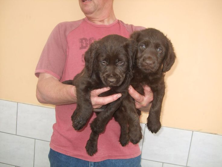 pictures of miniature labradors | Labrador X Mini Poodle Chocolate Puppies