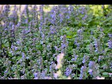 Cibo degli Dei.  Segreti erbe: timo, origano, menta piperita, piantaggine, calendula, e così via.  2013/05/21