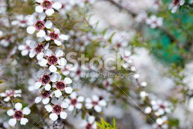 Manuka (Leptospermum scoparium) Tea Tree Royalty Free Stock Photo