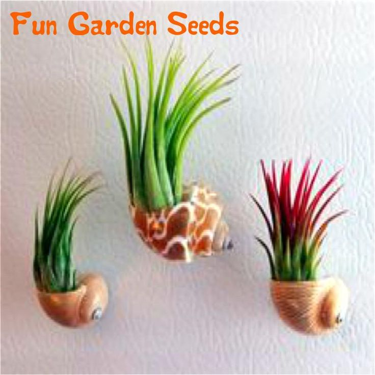 2016 On Sale! 20 Pcs Colorful Mexican Air Plants seeds In Sea Shell Terrariums For The Kitchen Fridge Or As Office Plants bonsai #clothing,#shoes,#jewelry,#women,#men,#hats,#watches,#belts,#fashion,#style