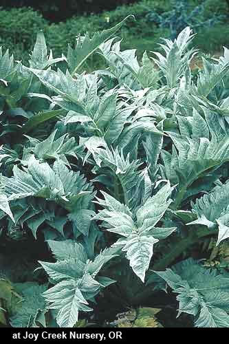 Perenial Cardoon: For a striking bold-textured accent plant in the garden, you aren't going to beat cardoon! Well-drained soils are best. Cardoon, which sounds more like a mythical place in Scotland than a plant, was actually chosen by the Royal Horticultural Society as one of the top plants of the last 200 years.