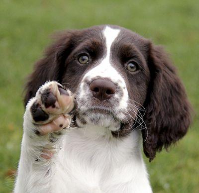 Drentsche patrijshond #hond #dog